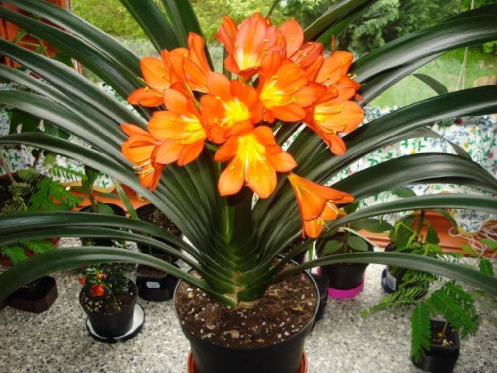 Кливия: все нюансы ухода за цветком в домашних условиях + фото и видео
