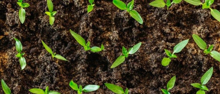 Когда и как сажать (сеять) перец на рассаду в 2021 году по лунному календарю