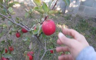 Яблоня чёрный принц — голландский аристократ в вашем саду