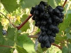 Виноград фурор: описание сорта и выращивание, плюсы и минусы вида с фото