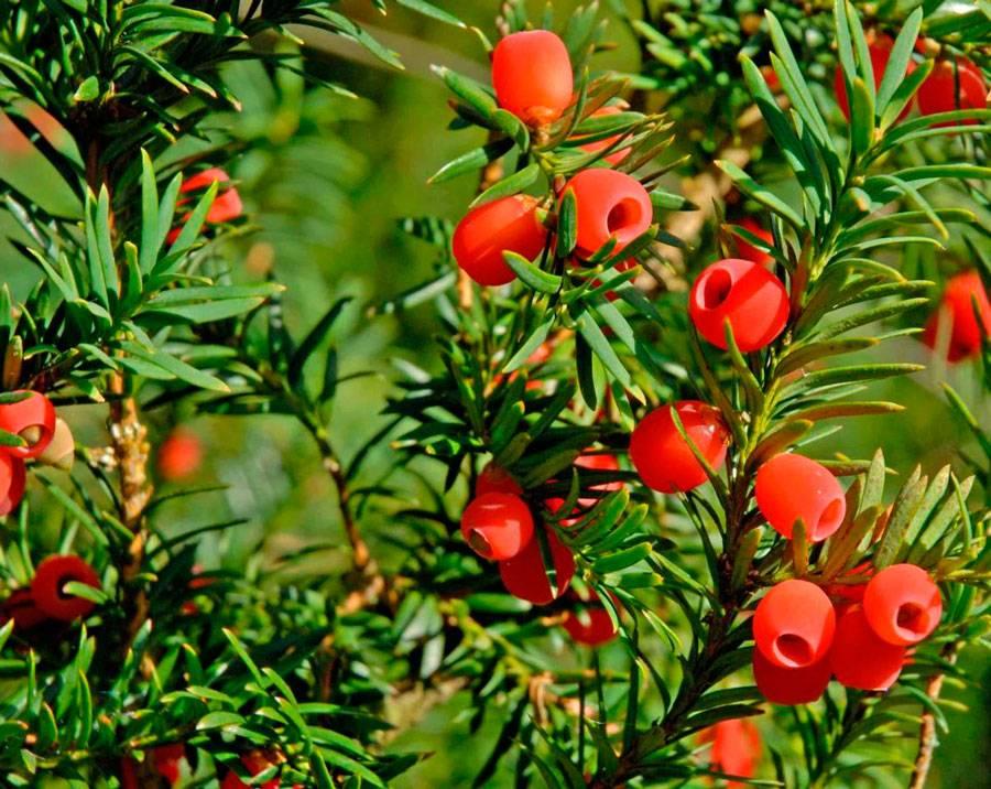 Тис ягодный: посадка и уход в открытом грунте, фото, размножение, сорта, выращивание и сочетание в ландшафтном дизайне