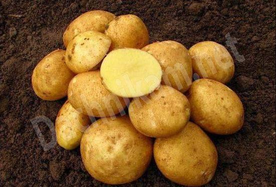 Урожайные сорта картофеля - пять самых популярных