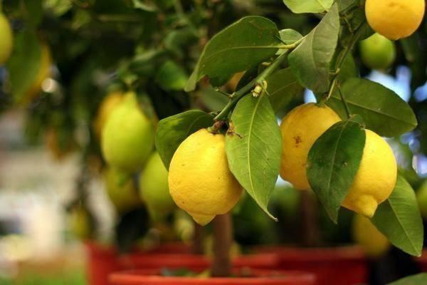 Новозеландский лимон: описание вида, выращивание и уход в домашних условиях