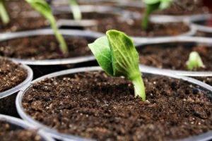 Кабачки на балконе: выращивание, особенности ухода, выбор сорта