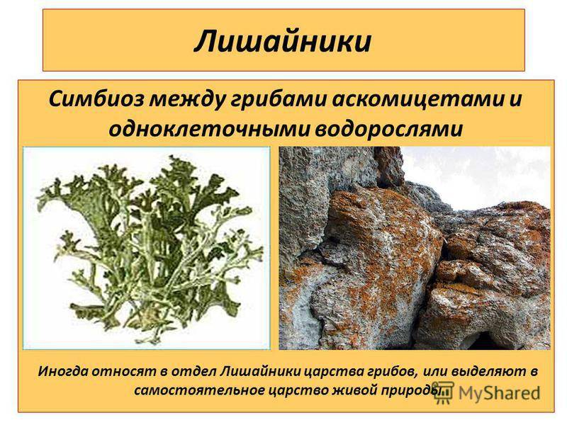 Лишайники – строение организма царства грибов, интересные факты