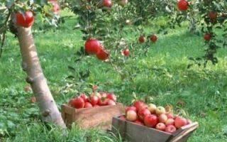 Как вырастить яблоню «медуница»? фото, отзывы