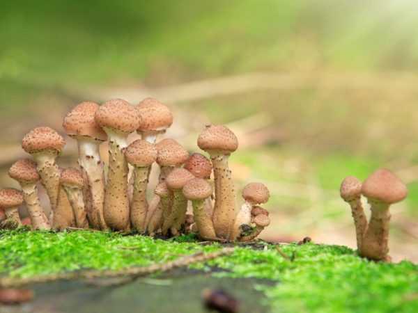 Грибы опята осенние, успенские, зимние: когда начинают собирать в средней полосе россии, сибири, беларуси? когда появляются первые осенние опята, когда начинают расти в лесу, в каком месяце? грибы опя