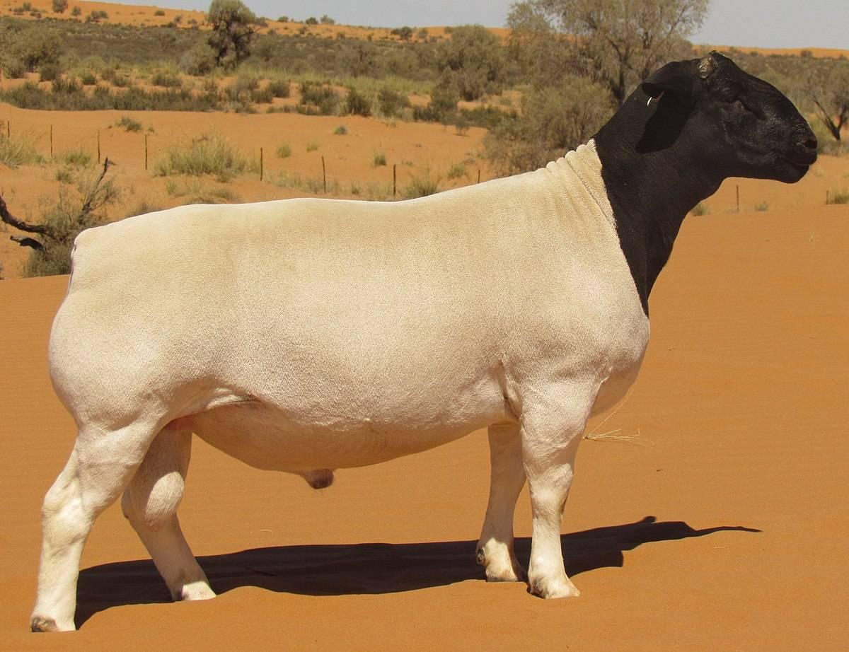 Овцы суффолк - описание породы, преимущества и недостатки, содержание