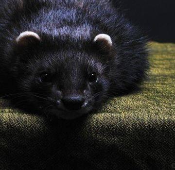Хорек животное. образ жизни и среда обитания хорька