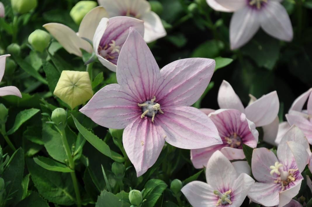 Калистегия: выращивание, уход, размножение, место в саду, фото