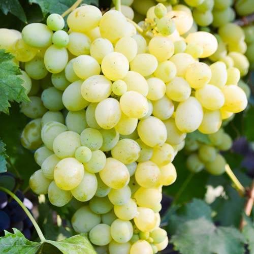 Виноград белое чудо — описание, фото, характеристика, правила посадки, ухода, особенности выращивания