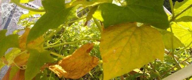 Желтеют листья огурцов в теплице: почему и что делать