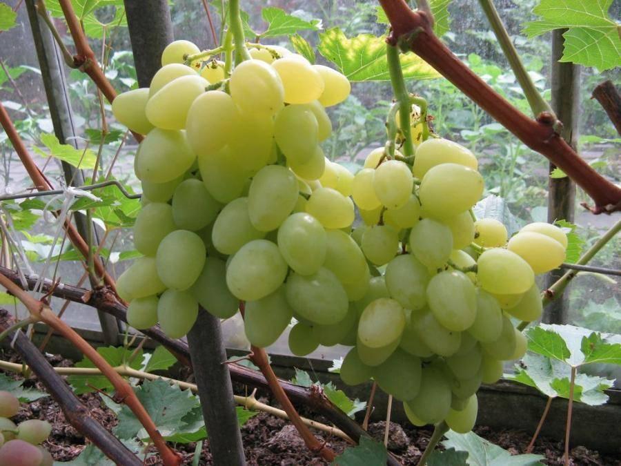 """Виноград """"надежда аксайская"""": описание сорта, характеристика грозди и особенности выращивания"""
