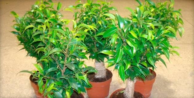 Фикус ретуза (притупленный): выращивание, фото, уход в домашних условиях