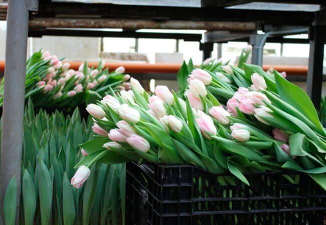 Как хранить луковицы тюльпанов: советы и инструкция