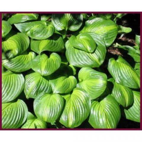 Хоста авокадо характеристика и фото