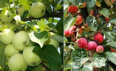 Яблоня бельфлер — описание сорта, фото, отзывы