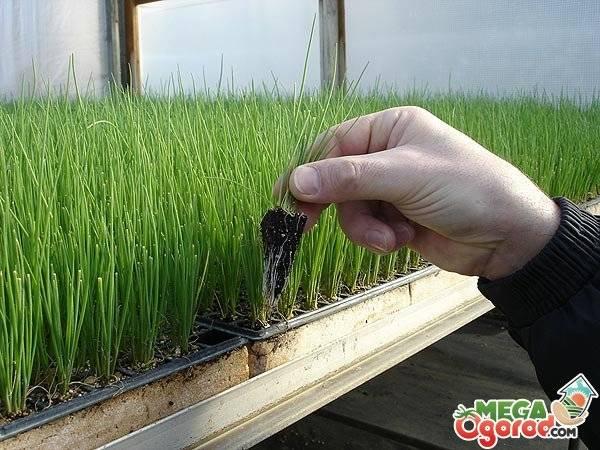 Как вырастить лук севок из семян 2 простых способа