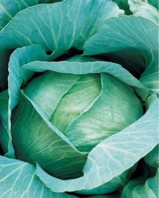 """Капуста """"амагер"""" – характеристика и выращивание"""