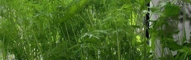 Выращивание зелени: особенности | cельхозпортал