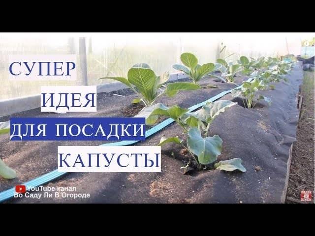 Посадка капусты по методу Юлии Миняевой