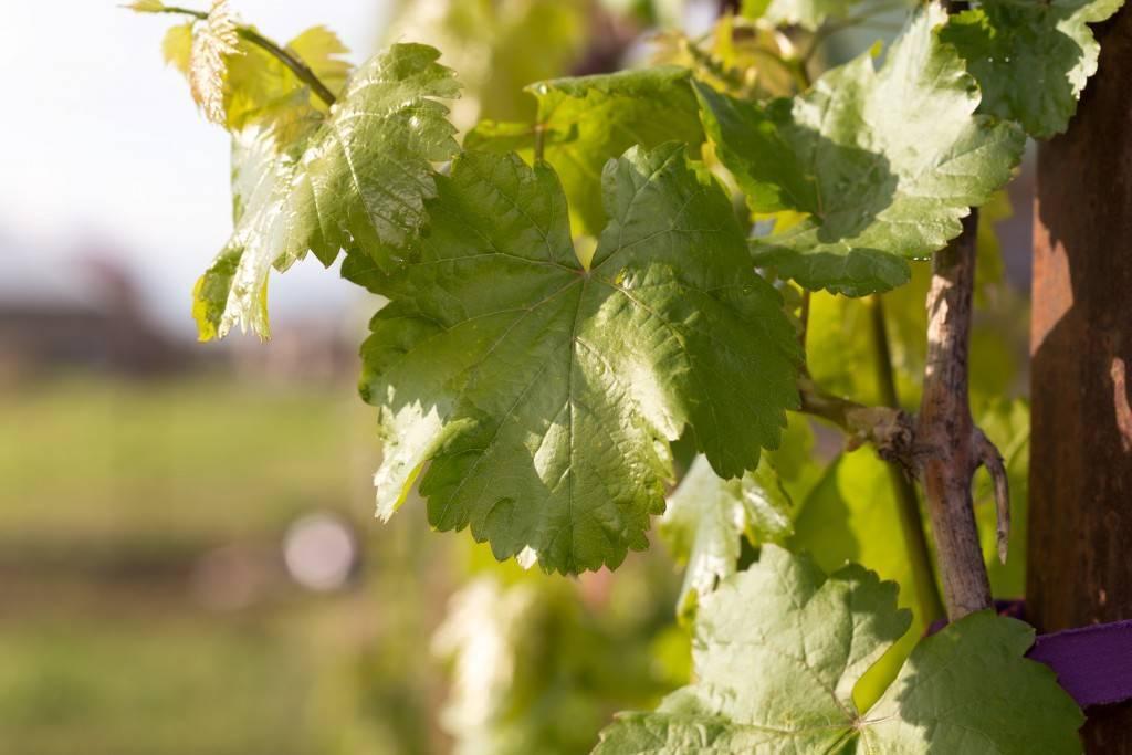 Общая характеристика винограда ромбик
