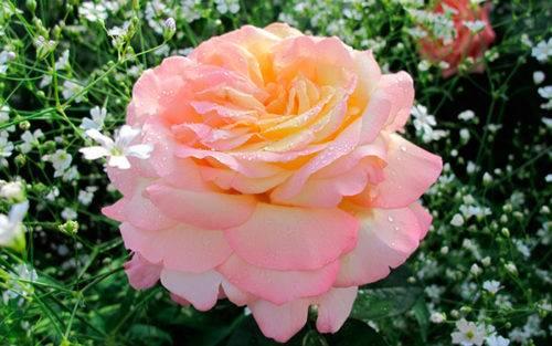 Роза глория дей: французская красавица