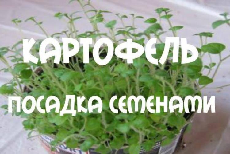 Как вырастить картофель из семян. семена картофеля.