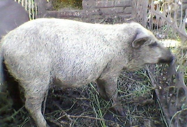 Кармалы – порода свиней или нет, достоверно о гибриде 2021