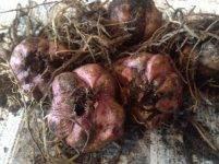 Как хранить луковицы лилий до посадки весной