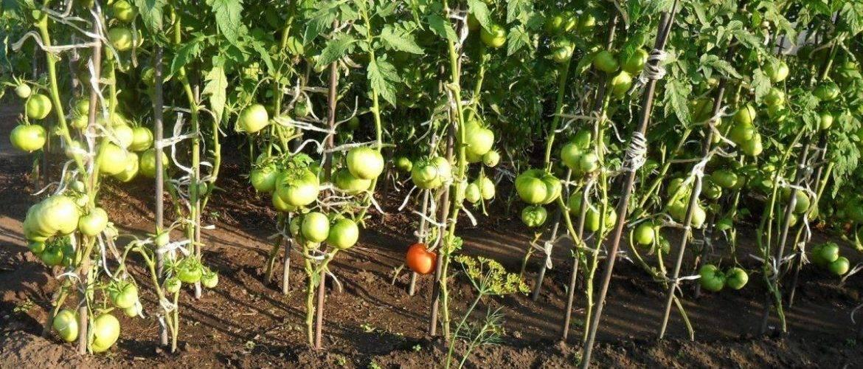 Пасынкование томатов: пошаговая инструкция, фото
