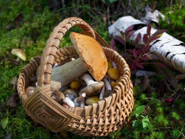Какие грибы растут в новосибирской области. топ самых популярных   досуг   аиф новосибирск