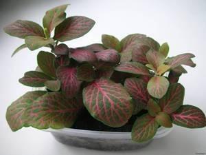 Комнатные тенелюбивые растения: список названий неприхотливых цветов