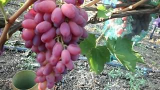 Описание сорта винограда ризамат: фото и отзывы | vinograd-loza