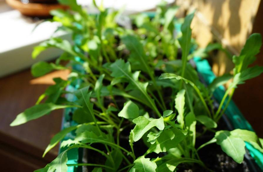 Руккола: посадка и уход, выращивание из семян на подоконнике в домашних условиях и в открытом грунте на даче, как и когда сеять семена, подготовка