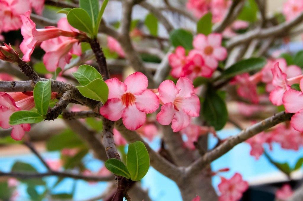 Роза пустыни или адениум: уход в домашних условиях и особенности выращивания необычного цветущего суккулента