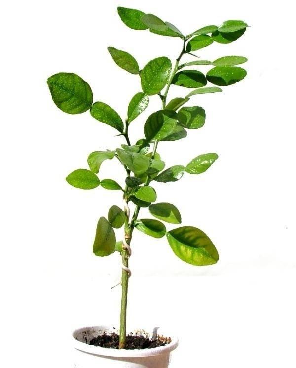 Что такое каффир-лайм - ботаническое описание, выращивание в домашних условиях, правила посадки и ухода
