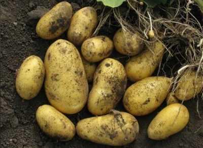 Картофель агрия – характеристика, описание, отзывы