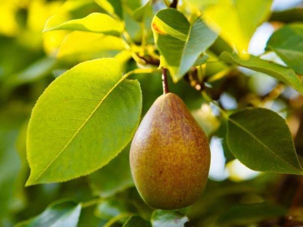 Характеристика самоплодных сортовых груш