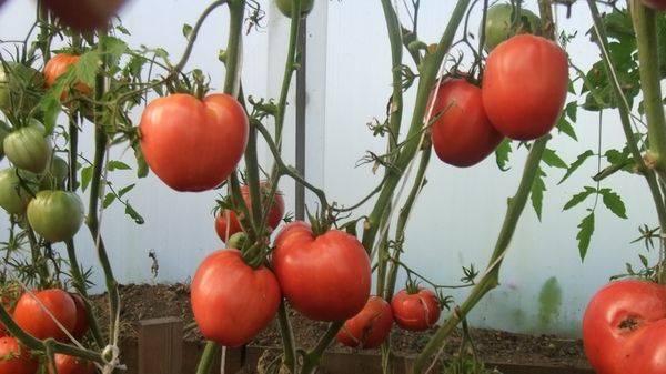 Характеристика и описание сорта помидор чудо земли, отзывы