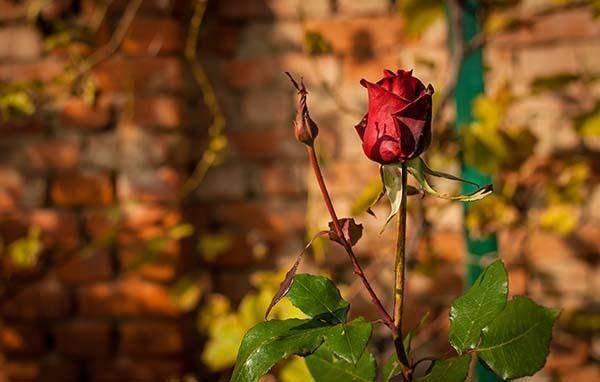 Чем подкормить розы весной - какие удобрения нужны для обильного цветения?