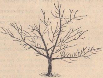 Обрезка абрикоса: цели процедуры, правила, схемы формирования кроны, уход после