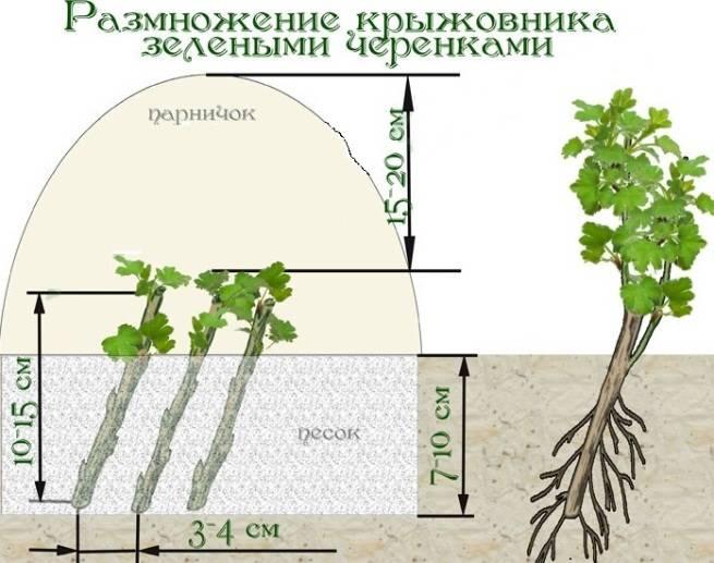 Как размножить крыжовник черенками летом, весной и осенью