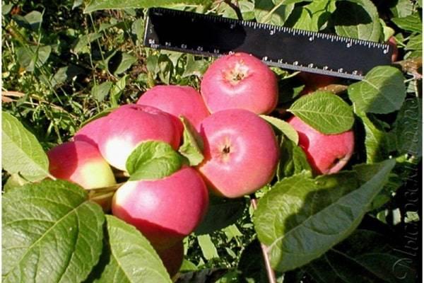 Яблоня баяна