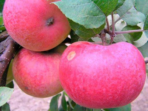 Яблоня желтое сахарное: описание и фото яблони и её плодов, а также отзывы о них