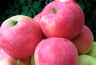 Кандиль орловский – зимостойкий сорт яблони для вашего сада