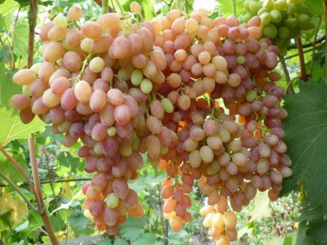 Виноград кишмиш: описание сорта с характеристикой и отзывами, особенности посадки и выращивания, фото и видео по теме
