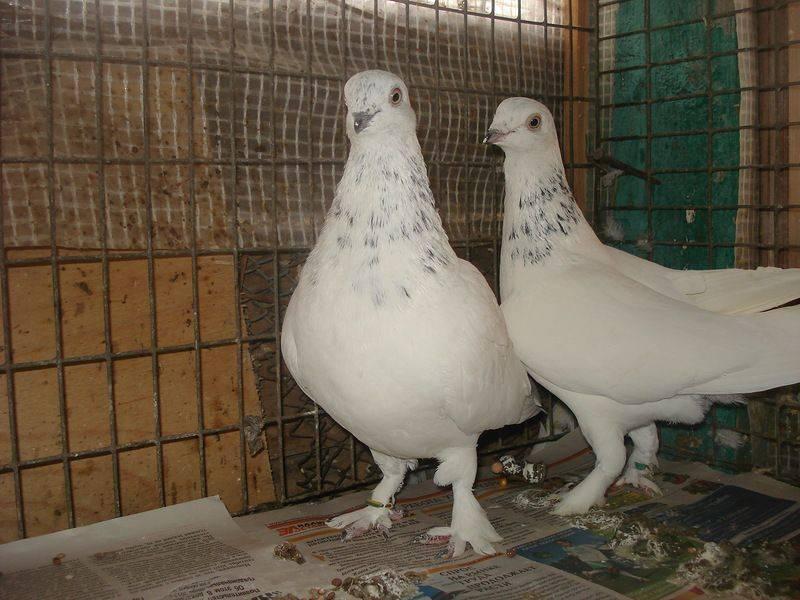 Английские голуби типплеры: описание породы, уход, фото