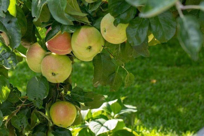 Особенности посадки и ухода за яблоней сорта баяна