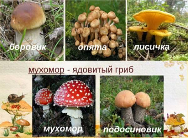 Грибы в природе - грибы-паразиты, лишайники, грибы-симбионты, грибы-сапрофиты